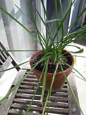 plant - social garlic in plain terra cotta pot