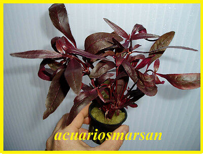 PLANTA DE ACUARIO  .ALTERNANTHERA SESSILIS red.