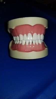 dental typodont model, used in school, nonremovanle teeth, 28 teeth