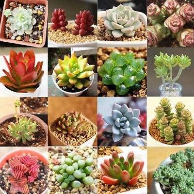 Rare Succulents Seeds Easy To Grow Potted Flower Seeds Bonsai Seeds Mixed Beauty