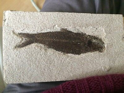 Natural Fossil Fish From The  Green River Formation Wyoming