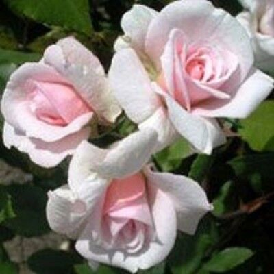 CECILE BRUNNER ROSE Climbing fragrant shell-pink flowers plant in 140mm pot
