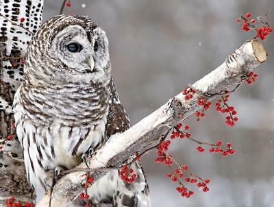NORTHERN BARRED OWL GLOSSY POSTER PICTURE PHOTO PRINT bird hoot america 4531