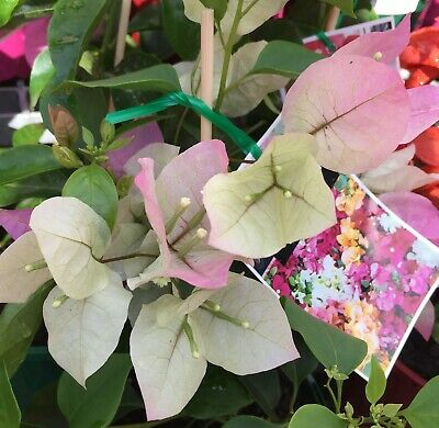 IMPERIAL THAI DELIGHT Bougainvillea white-pink flowers plant in 140mm pot