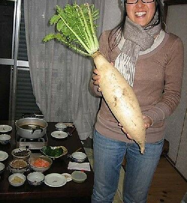 3g (approx. 300 - 360) giant daikon radish seeds MINOWASE/ SUMMER CROSS heirloom