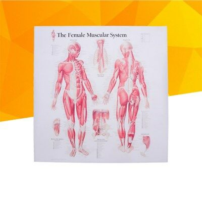 Women Muscle Anatomy Muscular System Decoration for School Clinic Home