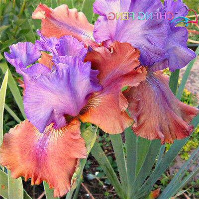 Iris Pink Seeds Bearded Iris Seeds Bonsai Rare Phalaenopsis Orchid... 100pcs/bag