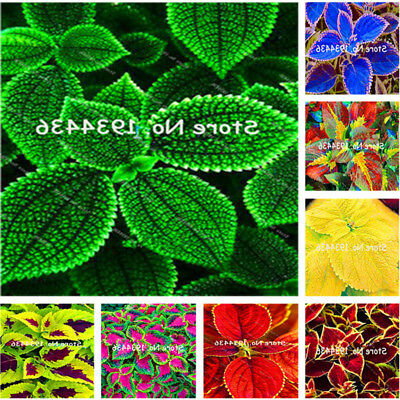 Coleus Shipping  Rare Flower Blumei Seeds,Rare Free Seeds Potted 100pcs