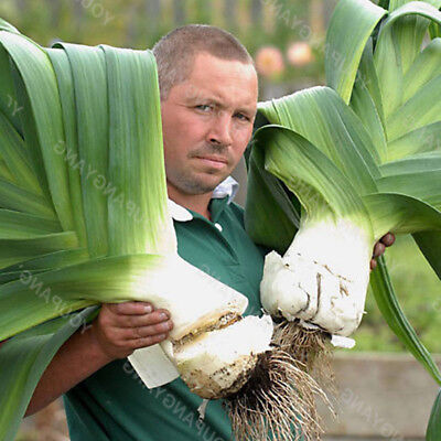 Giant Garlic  Pure Natural Vegetable Organic Healthy Seeds 50pcs Seeds