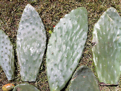1 x Prickly Pear Cactus $5 Each + 1 free extra - Lots Available! PICKUP ONLY!