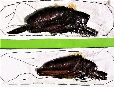 Very Rare Spiny Lobster Grasshopper Panoploscelis specularis Pair FAST FROM USA