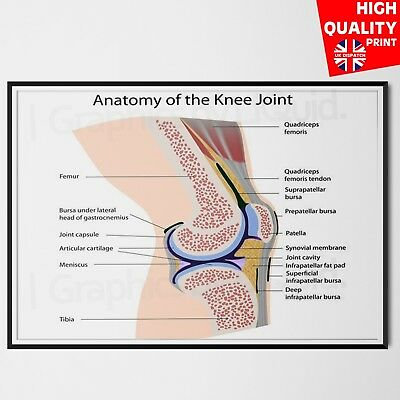 HUMAN ANATOMY knee joints poster print Education Poster A4 A3 A2 A1