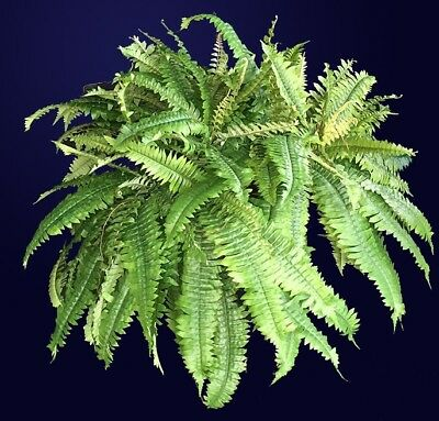 Boston Fern 'Macho' Nephrolepis exaltata Plant 50mm pot WA