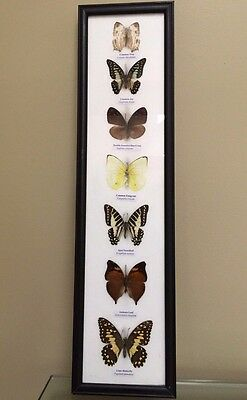 A Set of 7 REAL Butterflies Framed in Decorative Rectangular Matt  Black Frame