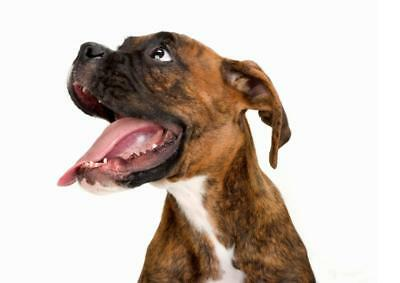 BOXER DOG POSTER PICTURE PHOTO PRINT short haired germany breed woof 4592