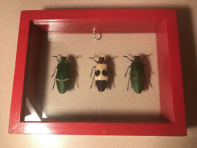 3 Real  Beetles Insect Bug Taxidermy Display in Framed Box