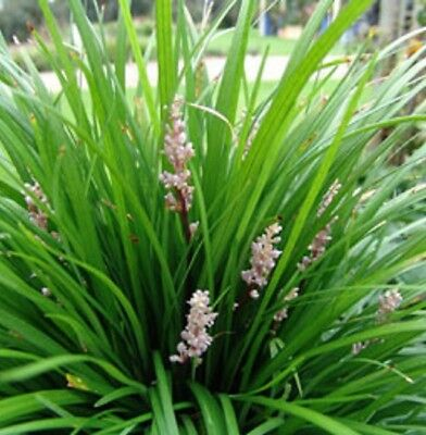 ISABELLA Liriope muscari border grass plant in 120mm pot