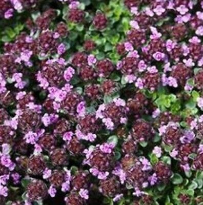 CREEPING WILD THYME Thymus pulegioides groundcover herb plant in 100mm pot