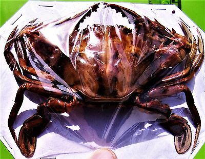 Pretty Crucifix Crab Charybdis feriatus Dried Great for Crafts FAST FROM USA