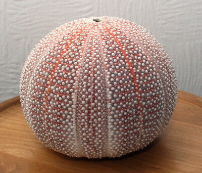 Extra Large Sea Urchin Shell 13 cm Diameter
