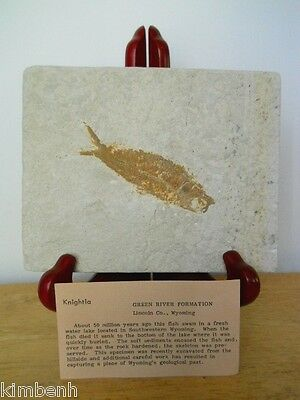 Lincoln Co. Wyoming Green River Formation Fossil Fish Knightia w/Stand