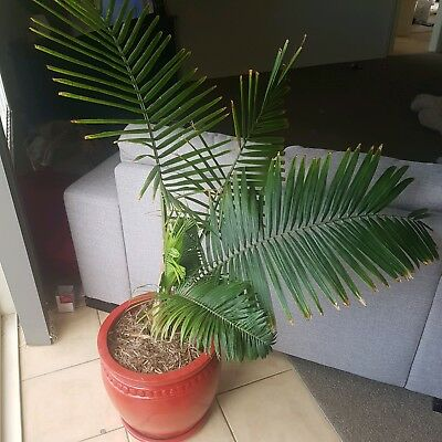 large healthy indoor fern