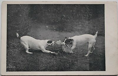 Picture-Postcard-Premier Series-Dog-Dogs-Jack Russell-Russells-Terrier-Fight
