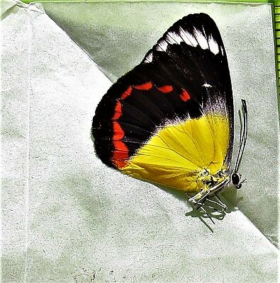 Lot of 10 Pretty Butterfly Delias timorensis moaensis Folded FAST FROM USA