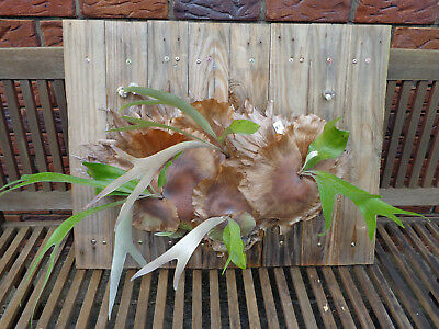 5 Staghorn / Elkhorn Ferns on Wooden Base Board  (#1)