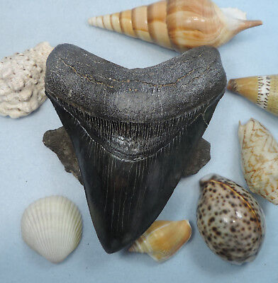 Massive 5 11/16'' Megalodon Tooth Fossil Sharks Teeth