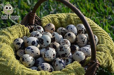 90 Jumbo Brown COTURNIX and TEXAS A&M QUAIL HATCHING EGGS