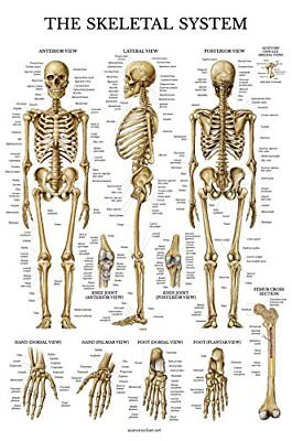Skeletal System Anatomical Chart - LAMINATED - Human Skeleton Anatomy Poster ...