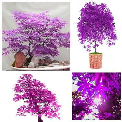 30pcs Blue Japanese Maple Tree Bonsai Seeds Acer Palmatum Atropurpureum-Plant,DE