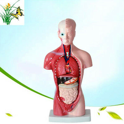 Human 30cm Torso Anatomical Model Skeleton Medical Anatomy Practice Model Kit
