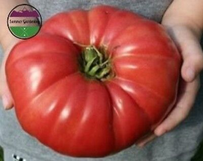 """USA"" HEIRLOOM Organic Giant Belgium Pink Tomato 25-200 seeds (5lb slicing)"