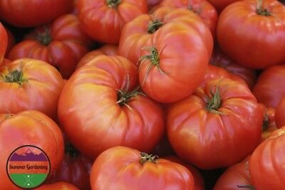 USA HEIRLOOM Organic Red Brandywine Tomato 25-200 seeds