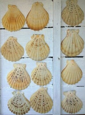 12 x Drilled Flat Scallop Shells Seashells Crafts Jewellery Design 5cm - 6cm