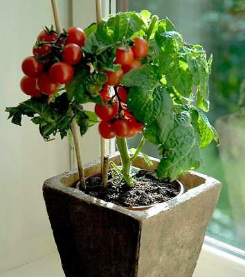 USA HEIRLOOM Organic Tiny Tim Tomato 25-200 seeds (Window, Container)