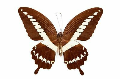 Lot of 10 Cream-banded Swallowtail Butterfly Papilio gigon gigon Male Folded USA