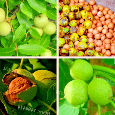 The Pecan Seeds Healthy Tree Seeds Fruit Seeds Nuts Walnut Year 1pcs