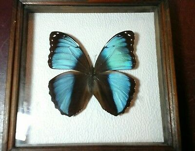 "morpho achilles butterfly specimen 4"" by 4"" in frame from peru"