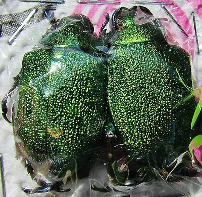 Very Rare Shining Leaf Chafer Beetle Chrysophora chrysochlora Pair FAST FROM USA