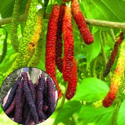 100 PCS Long Mulberry Fruit Tree Seeds FRUCTUS MORI Seed Morus Home Plants Hot