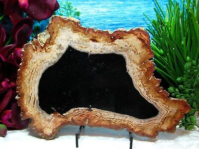 Petrified Wood FULL ROUND Slab w/Bark~ DAZZLING OBSIDIAN RUST GOLD GINGER 11""