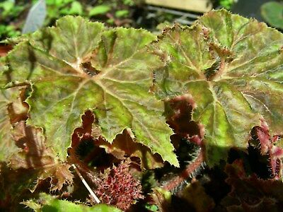 Begonia  Brown Pleats..a Lovely Curly& Frilled Variety