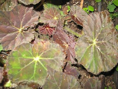 Begonia  Love Child..  New Release..beautiful Shades Of Deep Scarlet/red