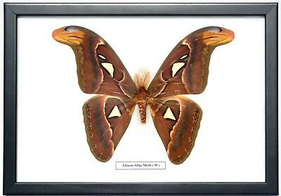 Real Attacus Atlas Moth ( Male ) In Framed Display.taxidermy