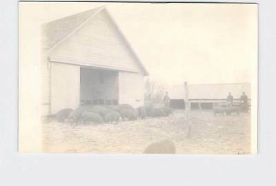 Rppc Real Photo Postcard Farmers In Barn Yard With Pigs Boars Sows