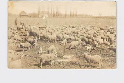 Rppc Real Photo Postcard Kansas Douglass Sheep In Pens Sheppard In Background
