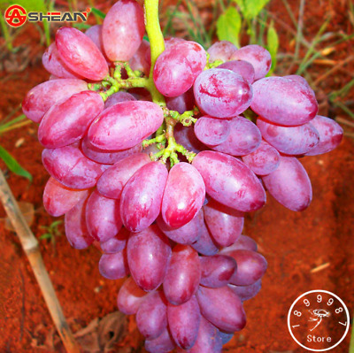 Hot Sale! 50seeds Rare Red Finger Grape Seeds Advanced Fruit Seed Natural